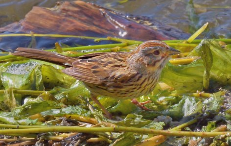Lincoln's Sparrow_EchoLake-MtEvans_CO_LAH_5998