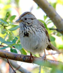 Lincoln's Sparrow_EchoLake-MtEvans_LAH_6138