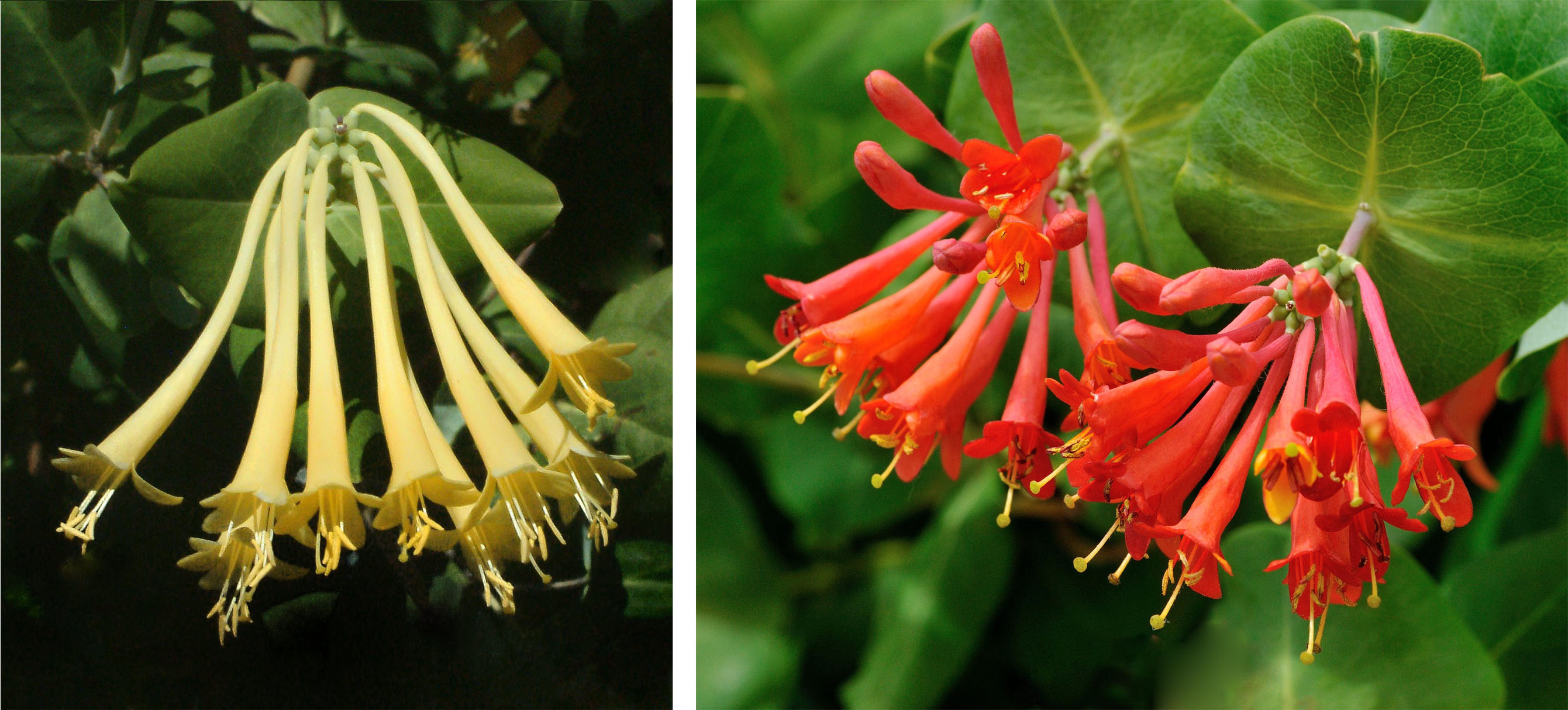 Sweet, Sweet Honeysuckles | Mountain Plover