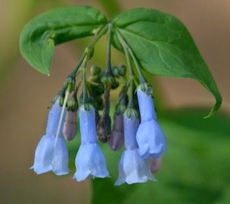 Mertensia lanceolata_Chiming Bells_Emerald Valley-EPC-CO_LAH_3310