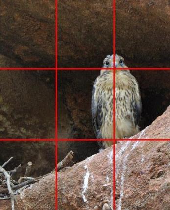 Prairie Falcon nest_RedRocksRanch-Hwy115-CO_LAH_6753