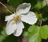 Rubus deliciosus_Boulder Raspberry_Emerald Valley-EPC-CO_LAH_3796