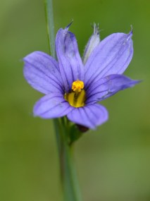 Sisyrinchium montanum, Blue-eyed Grass