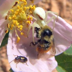 Spider eating bee on Wild Rose @EmeraldValley 20089jun23 LAH 012