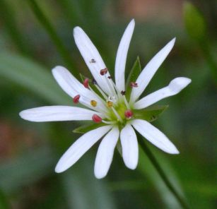 Stellaria longifolia_Long-leaved Starwort_Emerald Valley-EPC-CO_LAH_3503