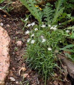 Stellaria longifolia_Long-leaved Starwort_Emerald Valley-EPC-CO_LAH_3505