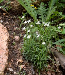 Stellaria longifolia_Long-leaved Starwort_Emerald Valley-EPC-CO_LAH_3505