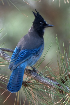 Steller's Jay, 5MR bird
