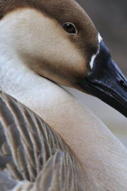 Swan Goose_SDWildAnimalPark_LAH_9027_filtered