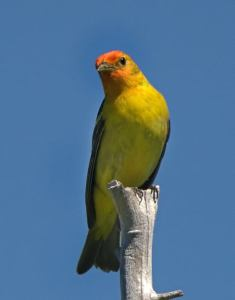 Western Tanager_SmithReservoir-CO_LAH_2297f