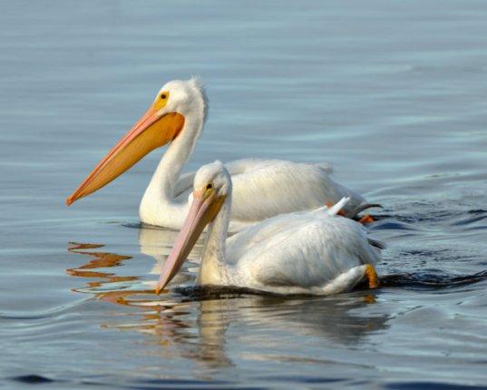 White Pelicans_DingDarlingNWR-FL_LAH_6696