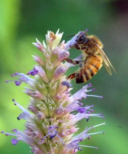 Bee on Agastache_HudsonGardens-LittletonCO_LAH_9377
