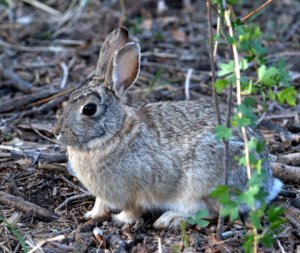Eastern Cottontail_FCNC_LAH_1276