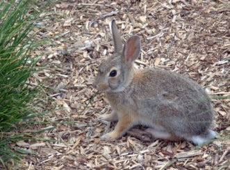 Eastern Cottontail_XG_LAH_7104