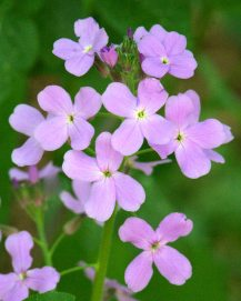 Hesperis matronalis_Dame's Rocket_ColoSpgs-CO_LAH_7355