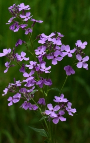 Hesperis matronalis_Dame's Rocket_ColoSpgs-CO_LAH_7356