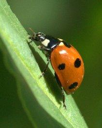 Ladybug_XG-CoSpgsCO_LAH_9349