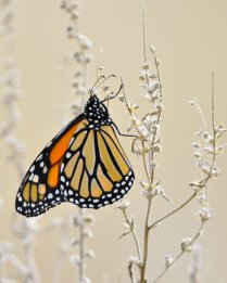 Monarch Butterfly_ChicoBasinRanch-CO_LAH_8874