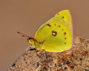 Orange Sulphur Butterfly_PikesPeak-CO_LAH_3248