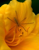 Spider on Hemerocallus 'Stella 'd Oro'_Daylily_Cottonwood XG_LAH_2524
