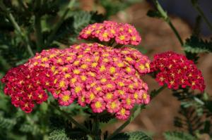 Yarrow_ColoSpgs-CO_LAH_5508