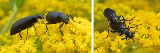 Black Blister Beetles