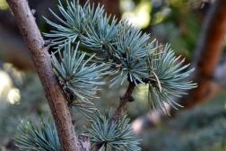 Cedrus libani ssp stenocoma_Cedar of Lebanon_DBG_LAH_3311