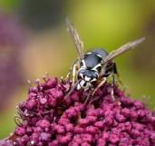 Dolichovespula maculata_Bald-faced hornet_HudsonGardens-CO_LAH_5940