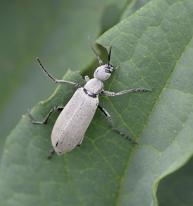 Epicauta_Blister Beetle_HudsonGardens-CO_LAH_5900