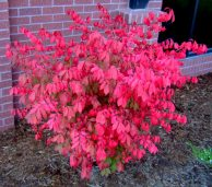 Euonymus alata - Burning bush @ColoSpgs 2008sept18 LAH 384