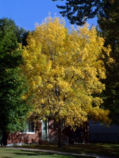Fall color @Franklin St., ColoSpgs 6oct2005 LAH 002r