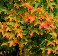 Fall color @TacomaWA 14oct07 LAH 015