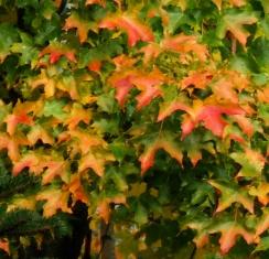 Fall color @TacomaWA 14oct07 LAH 015