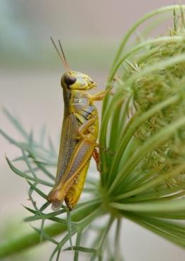 Grasshopper_HudsonGardens-CO_LAH_5840