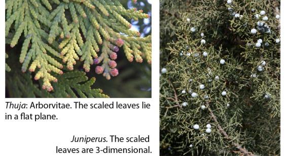 Leaf comparison