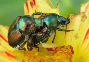 Popillia japonica_Japanese Beetle_HudsonGardens-CO_LAH_5585
