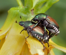 Popillia japonica_Japanese Beetle_HudsonGardens-CO_LAH_5598