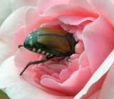 Popillia japonica_Japanese Beetle_HudsonGardens-CO_LAH_5619