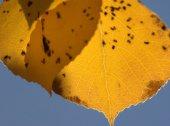 Populus tremuloides_Aspen_Hwy67-TellerCo-CO_LAH_3019