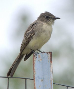 Western Wood-Pewee_BlkForest-CO_LAH_8144.NEF