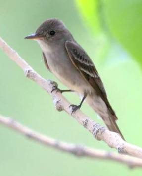 Western Wood Pewee_CO_LAH_3663_f