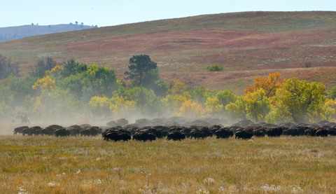 Bison roundup_CusterSP-SD_LAH_7605
