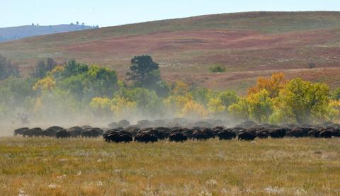 Bison roundup_CusterSP-SD_LAH_7605