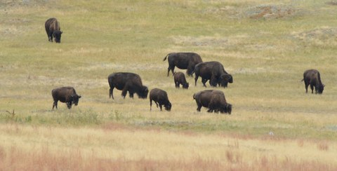 Bison_CusterSP-LAH_7307