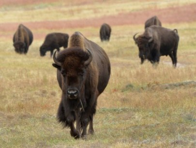 Bison_CusterSP-LAH_7345