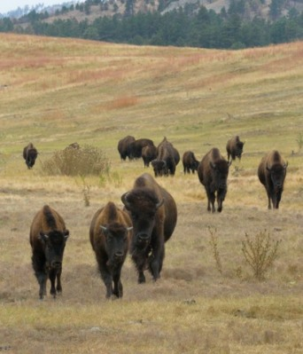 Bison_CusterSP-LAH_7374