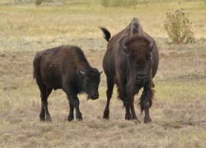 Bison_CusterSP-LAH_7440