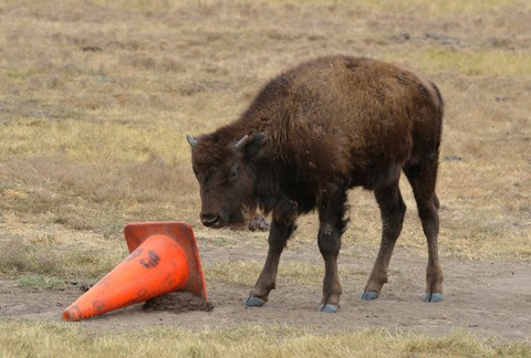 Bison_CusterSP-LAH_7458