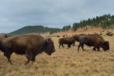 Bison_CusterSP-LAH_7475