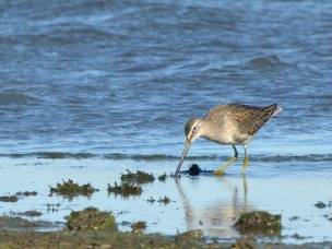 Dowitcher_RamahSWA-CO_LAH_8051